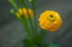 Fleur jaune de renoncule Photos stock