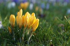 Fleur jaune de ressort de crocus Photographie stock libre de droits