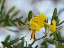 Fleur jaune de Rose Bay d'oléandre doux d'oléandre d'Apocynaceae d'oléandre de Nerium de fragilité de pétale belle en nature images libres de droits