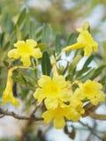 Fleur jaune de Rose Bay d'oléandre doux d'oléandre d'Apocynaceae d'oléandre de Nerium de fragilité de pétale belle en nature image stock