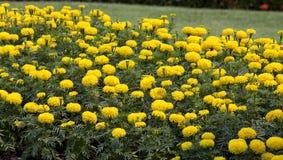 Fleur jaune de souci Images libres de droits
