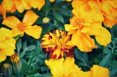 Fleur jaune de souci français au Japon photo stock