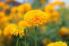 Fleur jaune de souci sur le fond de tache floue Image libre de droits