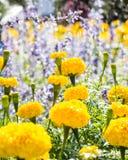 Fleur jaune de soucis Image libre de droits