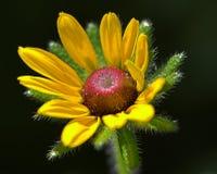 Fleur jaune de source Photographie stock