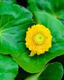 Fleur jaune de source Images libres de droits