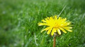Fleur jaune de source Image libre de droits
