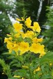 Fleur jaune de stans de Tecoma Image stock