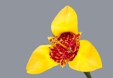 Fleur jaune de tigridia Image stock