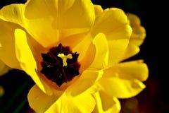 Fleur jaune de tulipe Photo stock