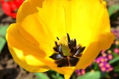 Fleur jaune de tulipe Photographie stock