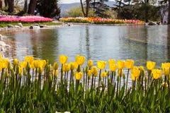 Fleur jaune de tulipes de couleur au printemps Photographie stock libre de droits
