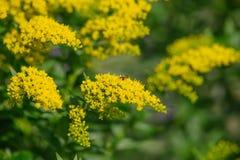 Fleur jaune de virgaurea de Solidago Photos libres de droits
