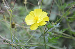 Fleur jaune du soleil Image stock