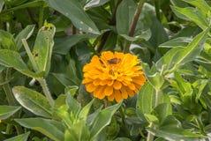 Fleur jaune en fleur avec le tir de plan rapproché de jardin de mite Photo stock