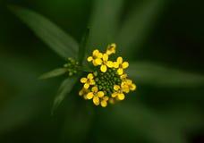 Fleur jaune en fleur Photos libres de droits