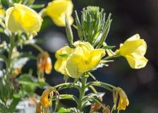 Fleur jaune en nature Photo stock