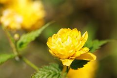 Fleur jaune en tant que d'abord signe de ressort, Allemagne Photos stock
