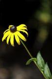 Fleur jaune et brune sur une tige Photo libre de droits