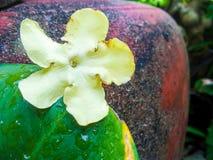 Fleur jaune et feuille verte sur le fond rouge de pot Image libre de droits