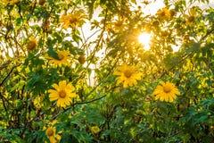 Fleur jaune et lumière du soleil de diversifolia de Tithonia dans le jardin Photographie stock libre de droits