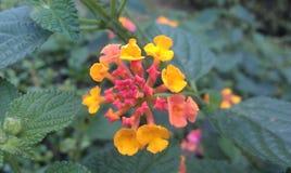 Fleur jaune et rouge Photographie stock