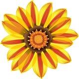 Fleur jaune et rouge de marguerite Images libres de droits