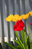 Fleur jaune et rouge de tulipes Photos stock