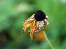 Fleur jaune fanée Photos stock