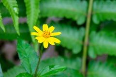 Fleur jaune fleurissant dans le jardin Images stock