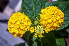 Fleur jaune Stock Images