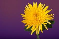 Fleur jaune fraîche et énergique Photographie stock libre de droits