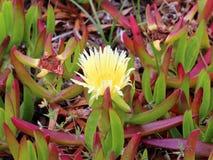 Fleur jaune isolée de carpobrotus sur un fond des feuilles juteuses Image libre de droits