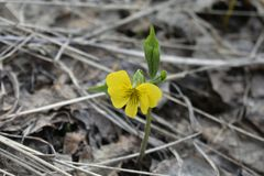 Fleur jaune isolée parmi de vieilles feuilles foncées photos libres de droits