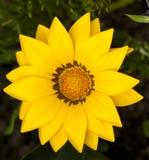 Fleur jaune lumineuse d'été Image libre de droits