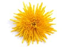 Fleur jaune lumineuse de chrysanthème Image stock