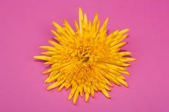 Fleur jaune lumineuse de chrysanthème Image libre de droits