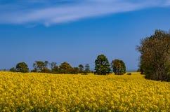 Fleur jaune lumineuse de gisement de graine de colza au printemps image stock