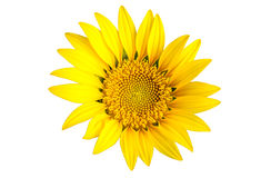 Fleur jaune lumineuse du soleil image libre de droits