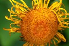 Fleur jaune lumineuse, Echinacea image libre de droits