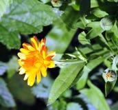 Fleur jaune lumineuse ensoleillée Image libre de droits