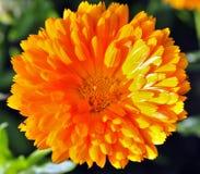 Fleur jaune lumineuse ensoleillée Photo libre de droits