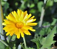 Fleur jaune lumineuse ensoleillée Photo stock