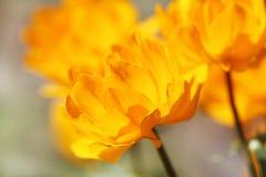 Fleur jaune lumineuse (Trollius) Images stock