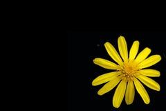 Fleur jaune (marguerite) Images stock