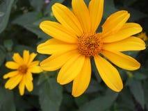 Fleur jaune merveilleuse photographie stock