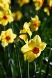 Fleur jaune, narcisse photographie stock libre de droits