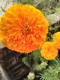 fleur jaune naturelle de fleur de calendula Photo stock