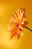 Fleur jaune-orange de gerbera Photo libre de droits