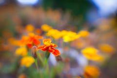 Fleur jaune-orange de jardin contre le ciel Photos libres de droits
